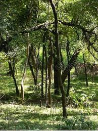 A quoi sert le bois de santal ?